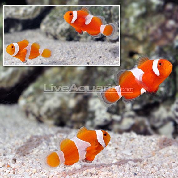 Tangerine Albino Ocellaris Clownfish