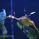 Weedy Sea Dragon at Moody Gardens
