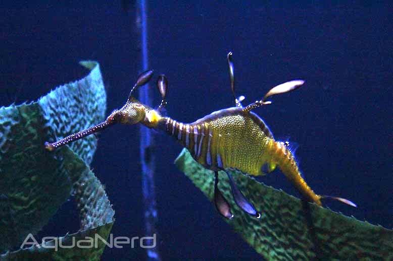 Weedy Sea Dragon at Moody Gardens