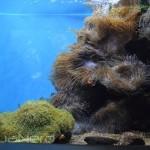 Anemone Display Tank - Waikiki Aquarium