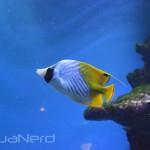 Auriga Butterflyfish - Waikiki Aquarium