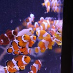 Ball of ORA Clownfish