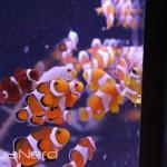 Ball of ORA Clownfish