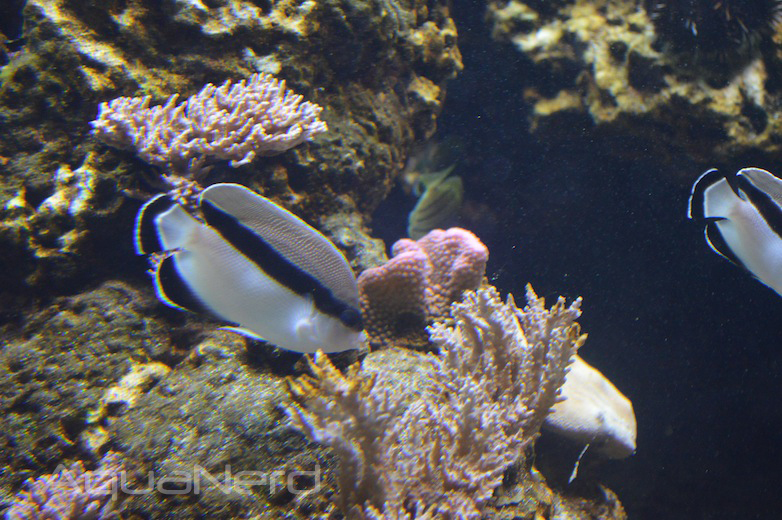 Bandit Angelfish - Waikiki Aquarium