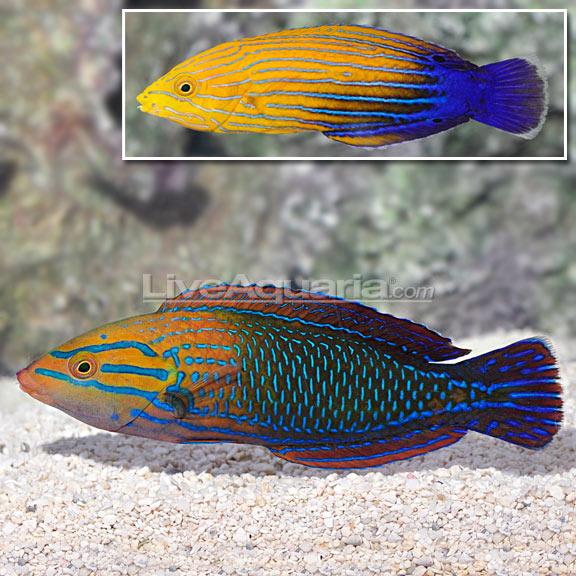 Blue Stripe Tamarin Wrasse Bonded Pair