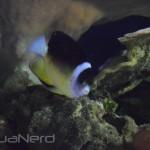 Centropyge abei - Waikiki Aquarium