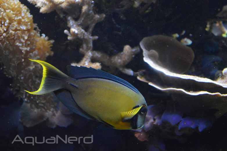 Chocolate Tang - Waikiki Aquarium