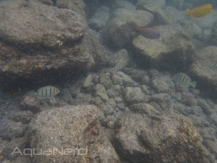 Convict Tangs in Kona