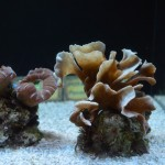 Coral Frags at the Waikiki Aquarium