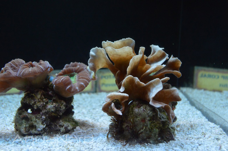 Coral Frags at the Waikiki Aquarium