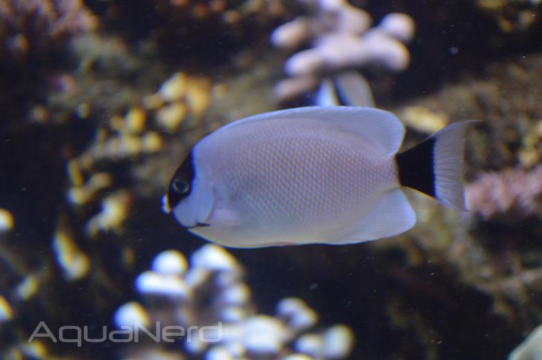 Female Masked Angelfish (Genicanthus personatus) - Waikiki Aquarium