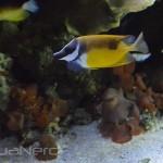 Foxface and Abei Angelfish - Waikiki Aquarium