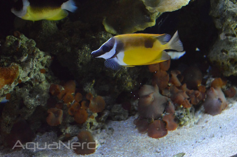Foxface and Abei Angelfish - Waikiki Aquarium