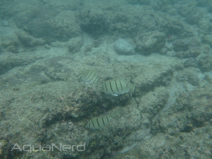 Grazing Convict Tangs