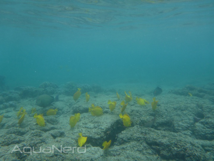 Grazing Yellow Tangs