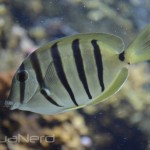 Hawaiian Convict Tang - Waikiki Aquarium