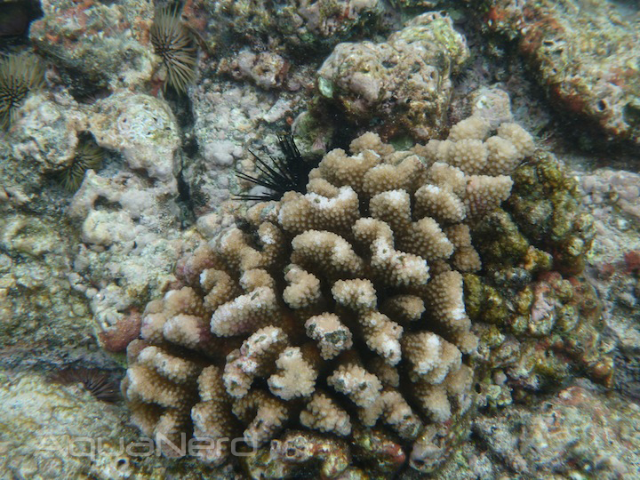 Hawaiian Pocillipora Coral