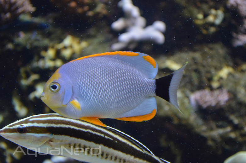 Male Masked Angelfish (Genicanthus personatus) - Waikiki Aquarium