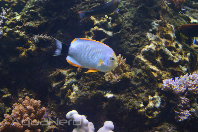 Male Masked Angelfish (Genicanthus personatus)