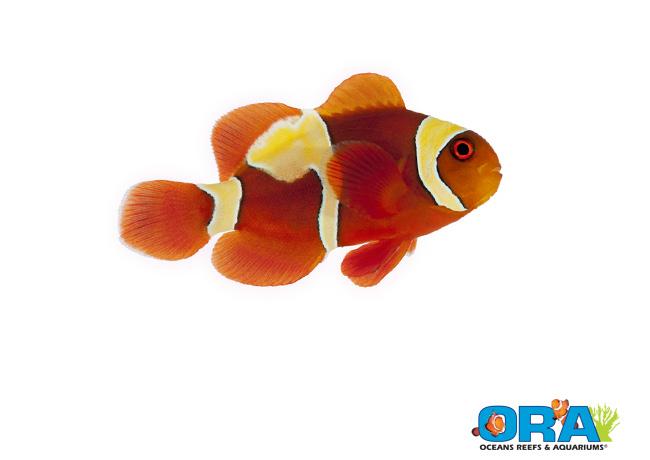 ORA Goldflake Maroon Clownfish