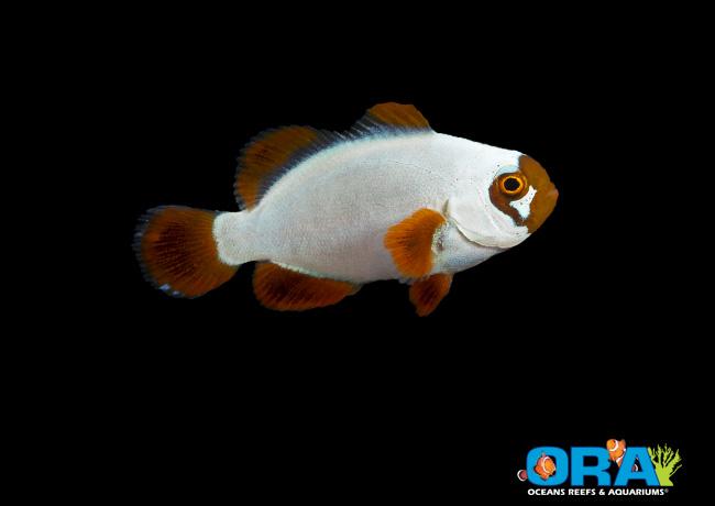 ORA Solid Gold Maroon Clownfish