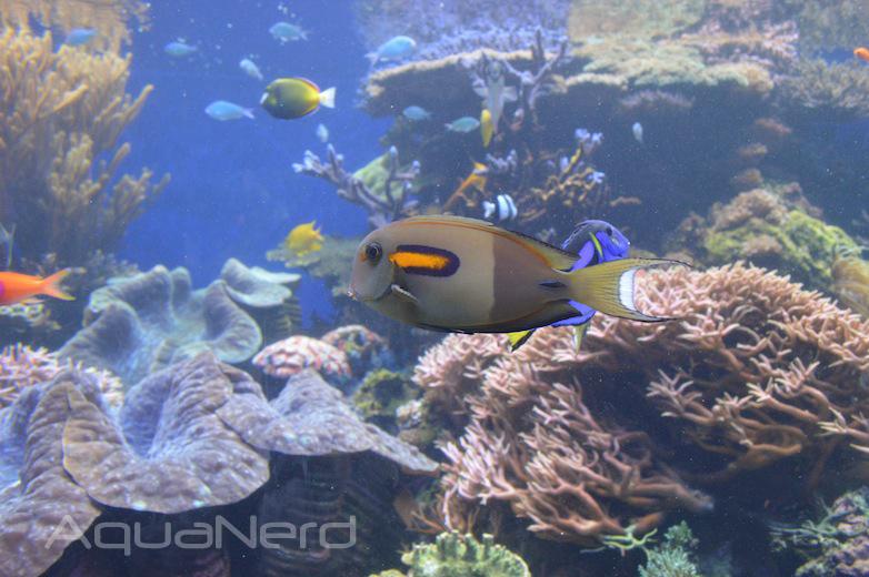 Orange Shoulder Tang - Waikiki Aquarium