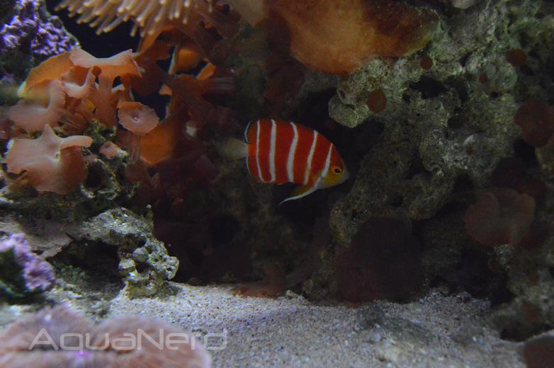 Paracentropyge boylei - Waikiki Aquarium