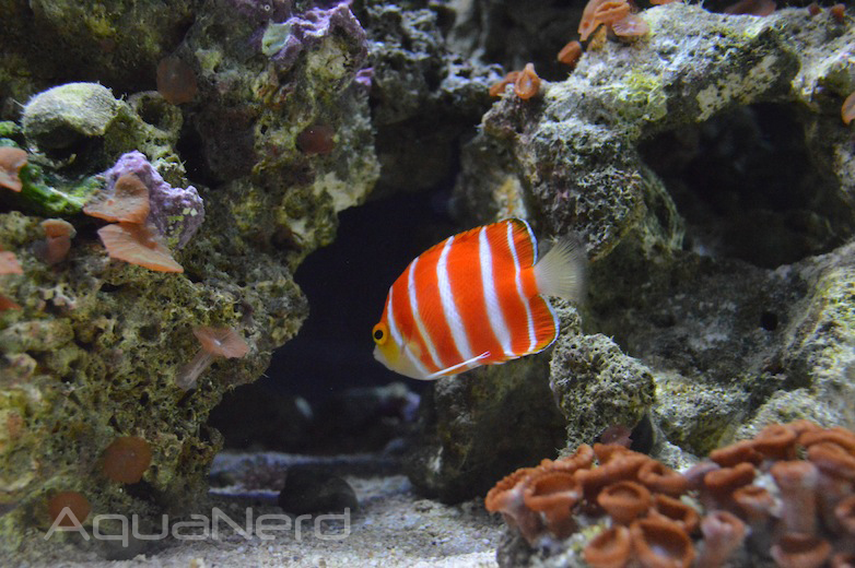 Paracentropyge boylei at the Waikiki Aquarium