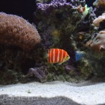Peppermint Angel - Waikiki Aquarium