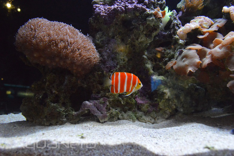 Peppermint Angel - Waikiki Aquarium