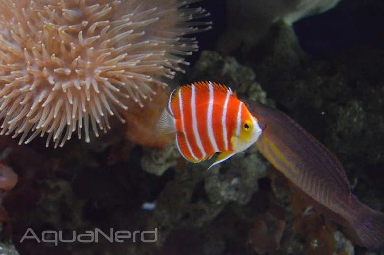 10 most expensive tropical fish named aquanerd for Most expensive saltwater fish
