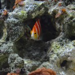 Peppermint Angelfish Paracentropyge boylei