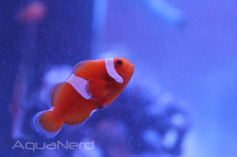 Proaquatix Tangerine Albino Clownfish