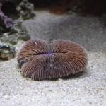 Purple Fungia Coral - Waikiki Aquarium