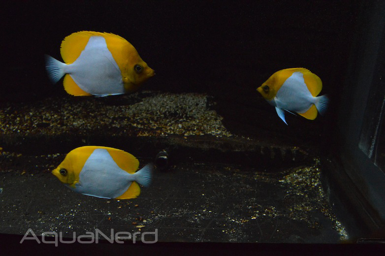 Pyramid Butterflyfish - Waikiki Aquarium