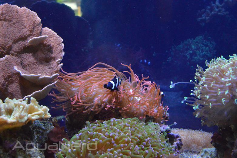 RBTA and B&W Ocellaris - Waikiki Aquarium