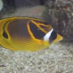Racoon Butterflyfish - Waikiki Aquarium