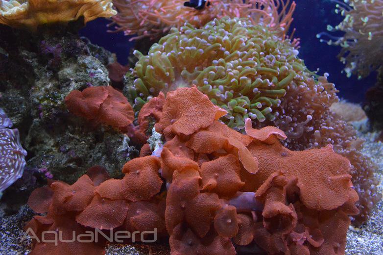 Red Mushroom Corals - Waikiki Aquarium