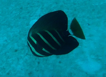 Sailfin Tang Captured in Florida