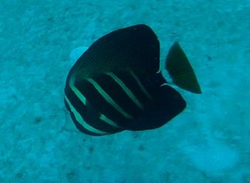 Sailfin Tang Captured in Florida