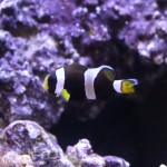 Sustainable Aquatics Latezonatus Clownfish