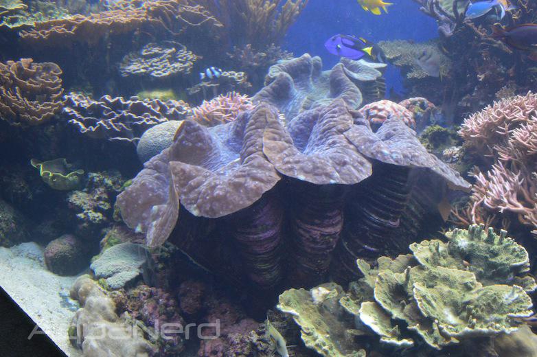 Tridacna gigas Clams - Waikiki Aquarium