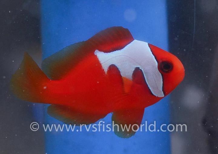 Aberrant Phantom Tomtato Clownfish