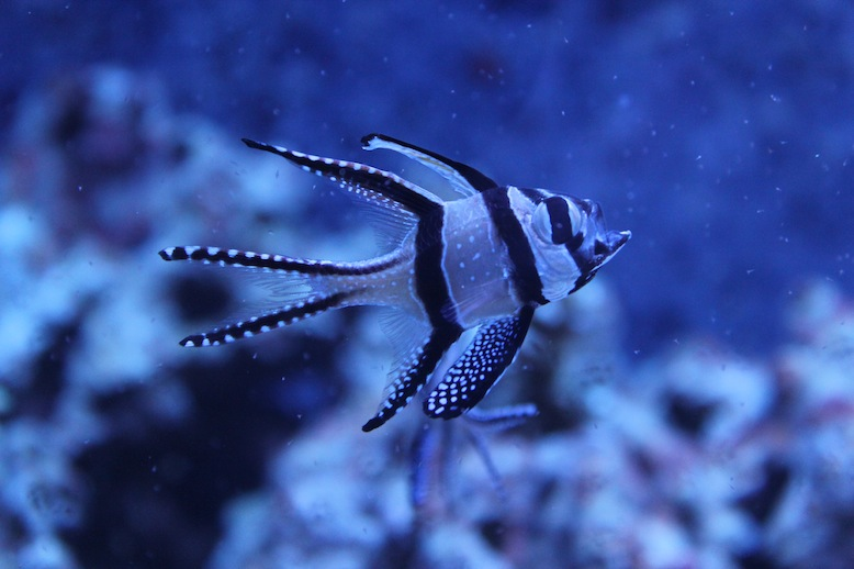 Banggai Cardinalfish Eating Live Brine Shrimp