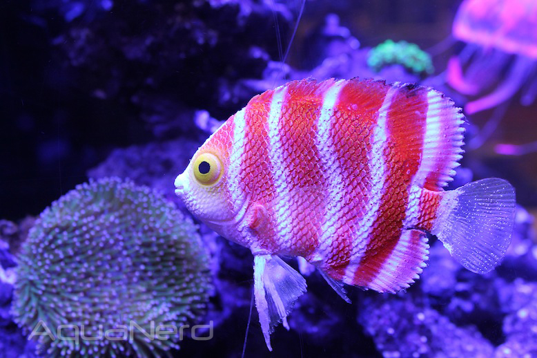 Eshopps Peppermint Angelfish
