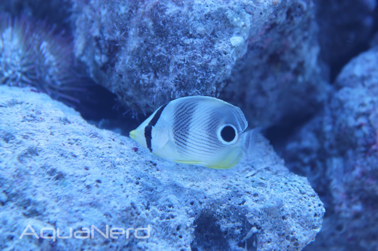 Foureyed Butterflyfish (Chaetodon capistratus)