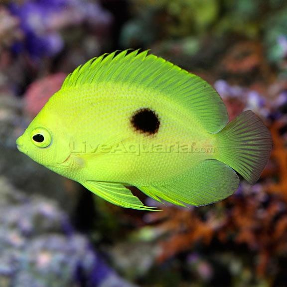 Narcosis Angelfish In Liveaquaria Diver 39 S Den Aquanerd