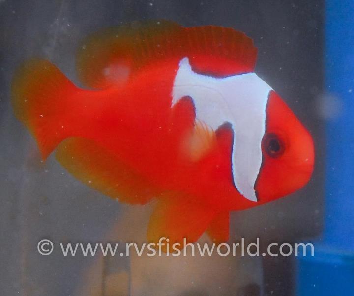 Phantom Tomato Clowfish RVS