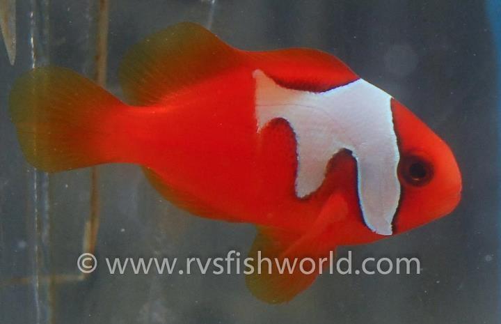 Phantom Tomato Clownfish