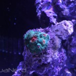 Red Eyed Green Chalice at CoralVue